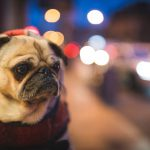 Dog walk, Downtown Winnipeg, Off-Leash parks, Street Walking, Pug