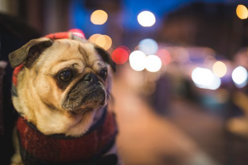 Dog walk, Downtown Winnipeg, Off-Leash parks, Street Walking, Pug
