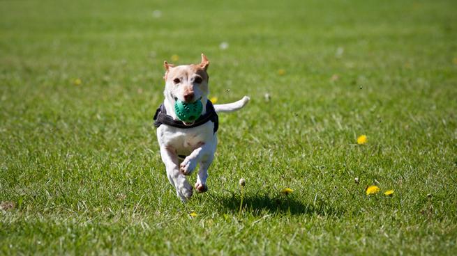 Dog Running in the field